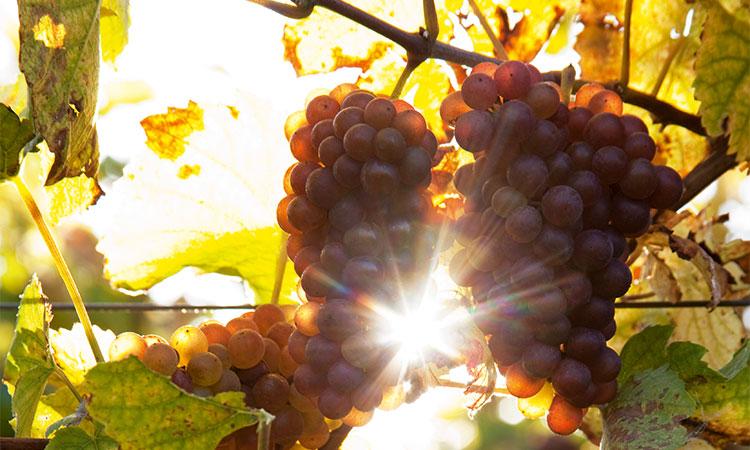 Wunderschöne Trauben im Sonnenschein. Eine Steilvorlage der Natur