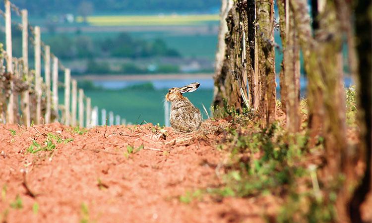 Auch der Hase genießt die Aussicht auf den Weinbergen